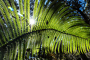 A camera-formed starburst shines through a big frond of a Hawaiian Tree Fern / Hapu'u / Manfern / Cibotium genus. Hawaii Volcanoes National Park is on the Big Island, Hawaii, USA. Established in 1916 and later expanded, the park (HVNP) encompasses two active volcanoes: Kilauea, one of the world's most active volcanoes, and Mauna Loa, the world's most massive shield volcano. The park portrays the birth of the Hawaiian Islands with dramatic volcanic landscapes, native flora and fauna, and glowing flowing lava. Most recently erupted in 1984, Mauna Loa may have emerged above sea level about 400,000 years ago and has likely been erupting for at least 700,000 years. Measured from its base on the ocean floor, it rises over 33,000 ft, significantly greater than the elevation of Mount Everest above sea level. HVNP is honored as a UNESCO World Heritage Site and International Biosphere Reserve.