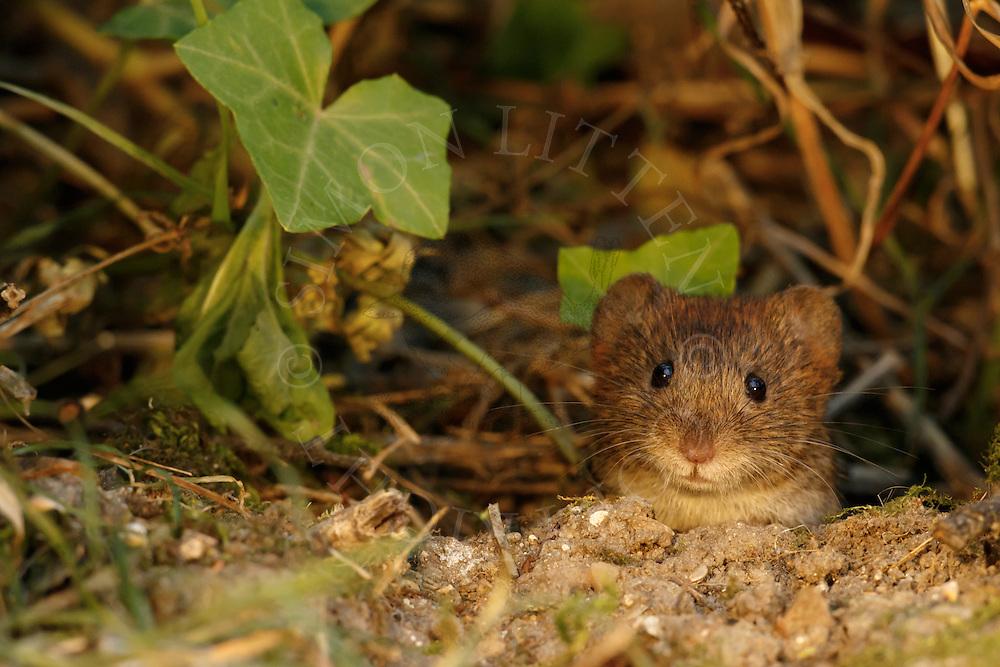 Bank Vole (Clethrionomys glareolus) adult, South Norfolk, UK. July.