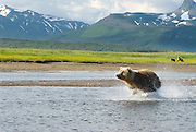 Alaskan Brown Bear sow and cubs, Ursus middendorffi, fishing for salmon along river,  Katmai National Park, Alaska