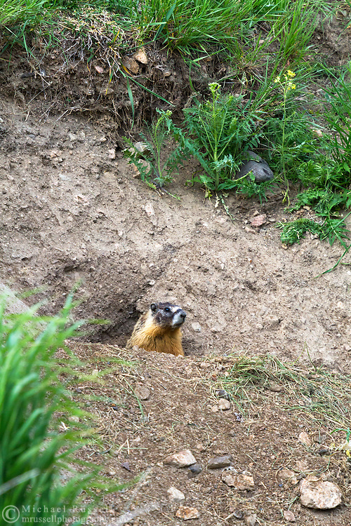 A Yellow-bellied Marmot (Marmota flaviventris) looking out from its burrow in Kekuli Bay Provincial Park near Vernon, British Columbia, Canada