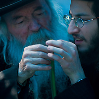"""JERUSALEM - OCT 10 : An ultra-orthodox Jewish men inspects a Lulav in the """"Four spesies"""" market in Jerusalem Israel on October 10 2011 , Lulav is one of the """"Four spesies""""  used during the celebration of Sukot"""
