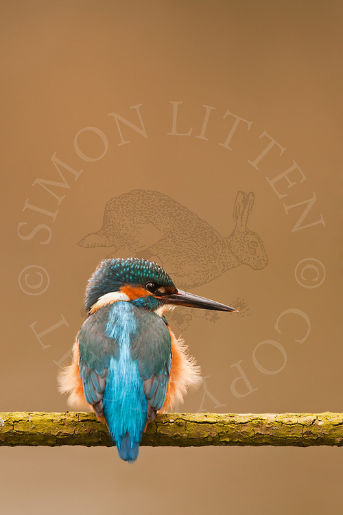 Kingfisher (Alcedo atthis) adult perched on branch overhanging river, Norfolk Broads N.P., UK.