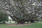 Ancient Trees in the Royal Botanical Garden, Sydney