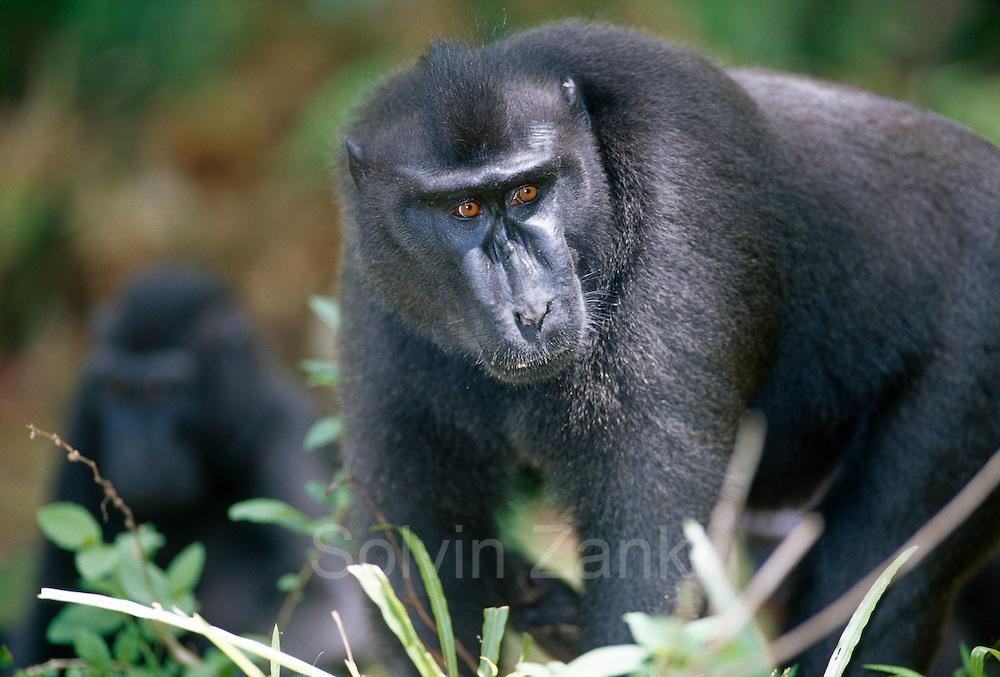 The dominant male Celebes Crested Macaque always comes to prevent fights. | Das dominante Schopfmakaken Männchen ist immer zu Stelle, um Streit zu unterbinden.