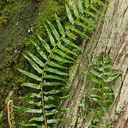 Several fronds of a western sword fern (Polystichum munitum) climb the base of a western red cedar (Thuja plicata) tree on Bainbridge Island, Washington.