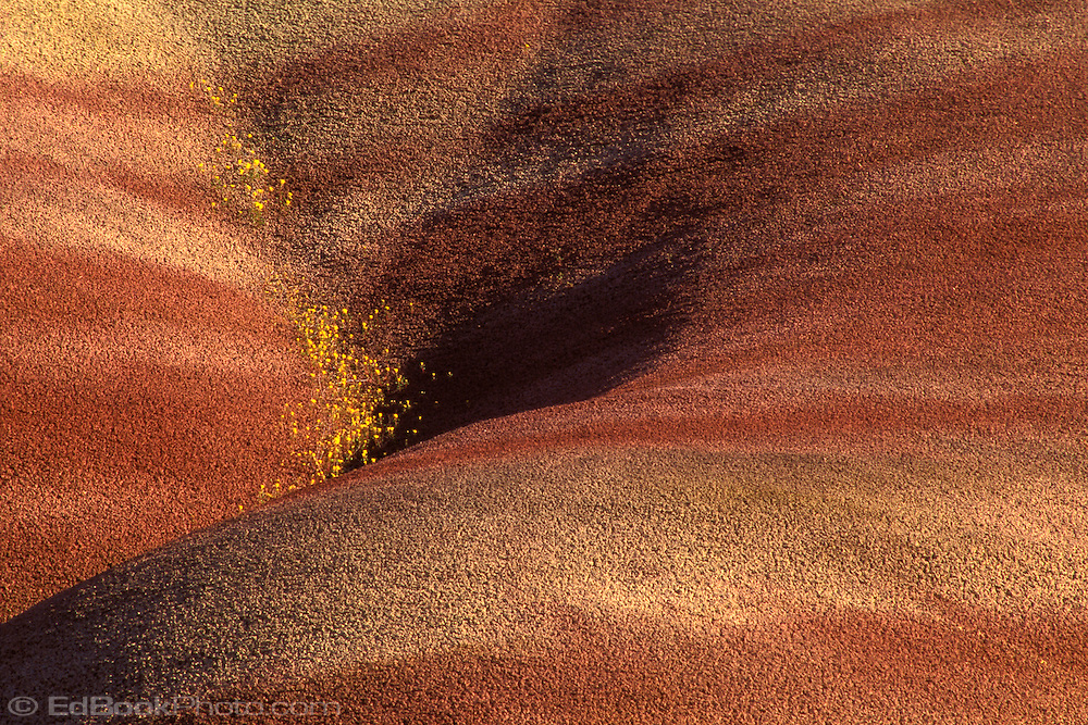 A spray of Yellow Beeplant grows in a cleft in the clay slope at the Painted Hills of John Day Fossil Beds National Monument, Oregon, USA