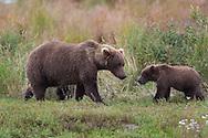 Portrait of adult and juvenile brown bear, Katmai National Park, Alaska