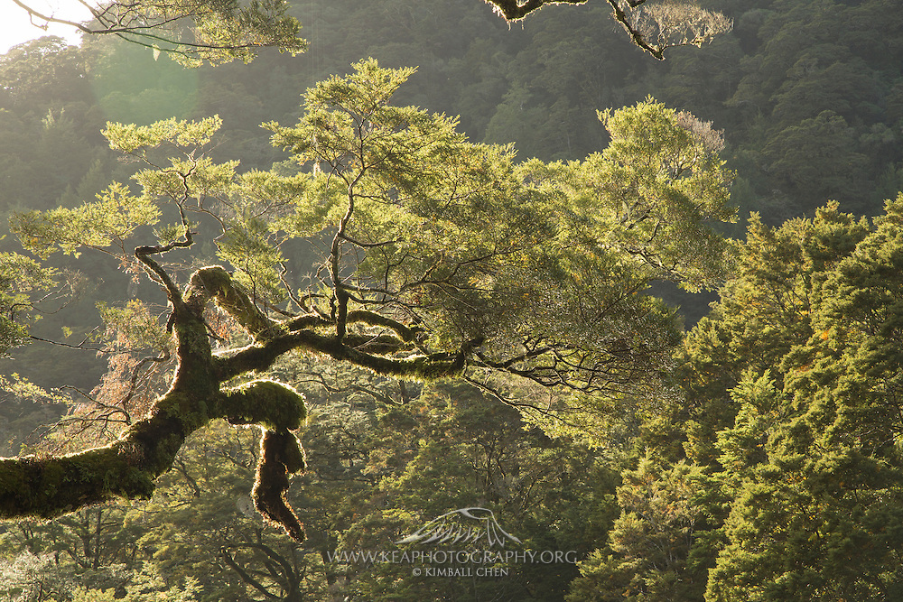 An overhanging beech tree lit by a late-afternoon sun.  Milford Track, Fiordland.