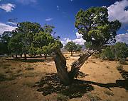 AA03479-04...COLORADO - Juniper trees near Plug Hat Butte in Dinosaur National Monument.