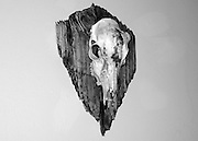 Right side view of skull of a whitetail buck, hornless with horn bumps on a plaque of driftwood from Jekyll Island Georgia. Black and white photo.