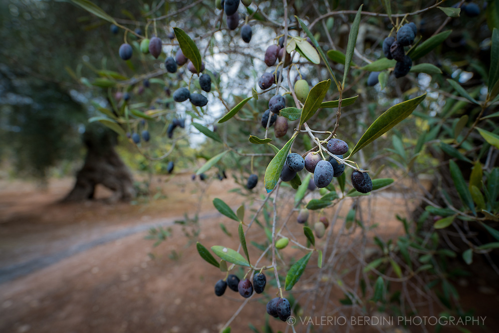 Olives mature in the warm sun of southern Italy summer and hare mature in the late autumn, when they fall on the ground and are collected by farmers to produce olive oil.