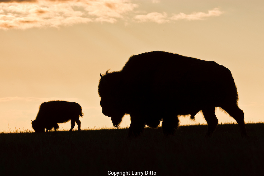 American Bison (Bison bison) male on the paririe at sunset