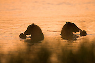A pair of silhouetted brown bears sitting in the water eating fish, Alaska
