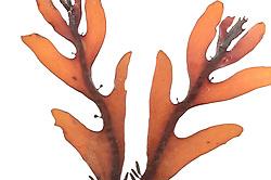Brown Algae (Cystosphaera jacquinotii), Isla Rey Jorge, Antarctica | AFP 607 Herbarium Akira Peters