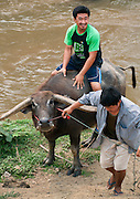 Two Thai men leading a water buffalo out of a river in rural Chiang Mai, Thailand.