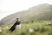 A puffin portrait against a hill, with some bokeh raindrops in the foreground.