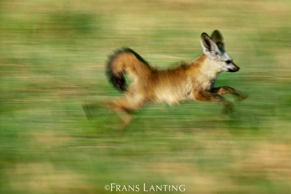 Bat-eared fox running, Otocyon megalotis, Okavango Delta, Botswana