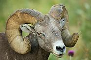 North American Wild Sheep