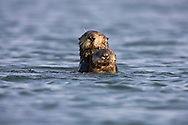 California Sea Otter (Enhydra lutris) and pup at water level - Monterey, California