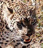 Leopards - Chui