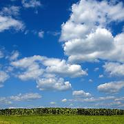 Corn growing in a field in Dane County Wisconsin.