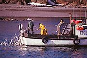 Alaska. Commercial fishing. Drift gillnet crew picking herring Togiak, Bristol Bay.