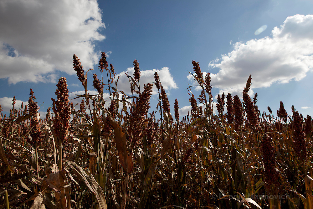 May 2010, Lesotho. Farming activity as the maize harvest is brought in before the winter. Sorghum drying on the fields before being harvested.