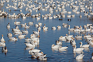 Wintering Pacific Flyway Waterfowl, Sacramento National Wildlife Refuge, California