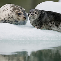 USA, Alaska, Tongass National Forest,  South Sawyer Glacier, Harbor Seal with young pup (Phoca vitulina) on iceberg in Tracy Arm