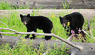 Black bear cubs are born in the den during the cold winter months and exit the den with their mother in late spring. Although black bears can produce a litter of six cubs, two cubs are most common.