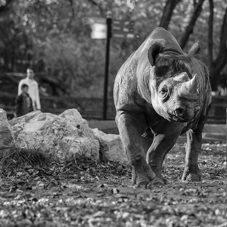 Soul Survival: Black Rhinoceros (Diceros bicornis)<br /> Critically Endangered/Species Survival Plan