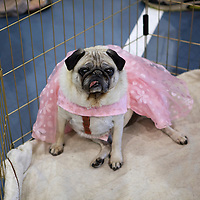 .The 6th Annual Milwaukee Pug Fest was held Sunday May 16. 2010 at the Milwaukee Sports Complex in Franklin, Wisconsin.