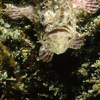 Sanguine Frogfish or Anglerfish