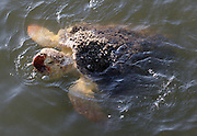 Sea turtle coming up for air near Jekyll Island beach