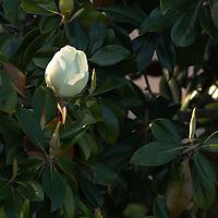 Southern Magnolia bud, Sarasota, Florida