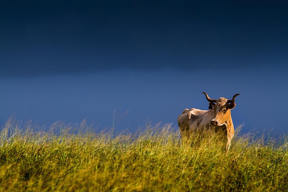 Steer in pasture Maunaloa, Molokai, Hawaii