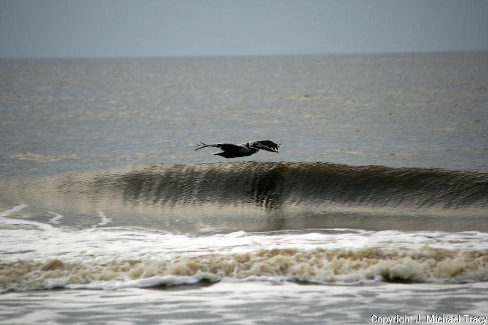 Gray Pelican cruising the wave tops along a Jekyll Island Beach