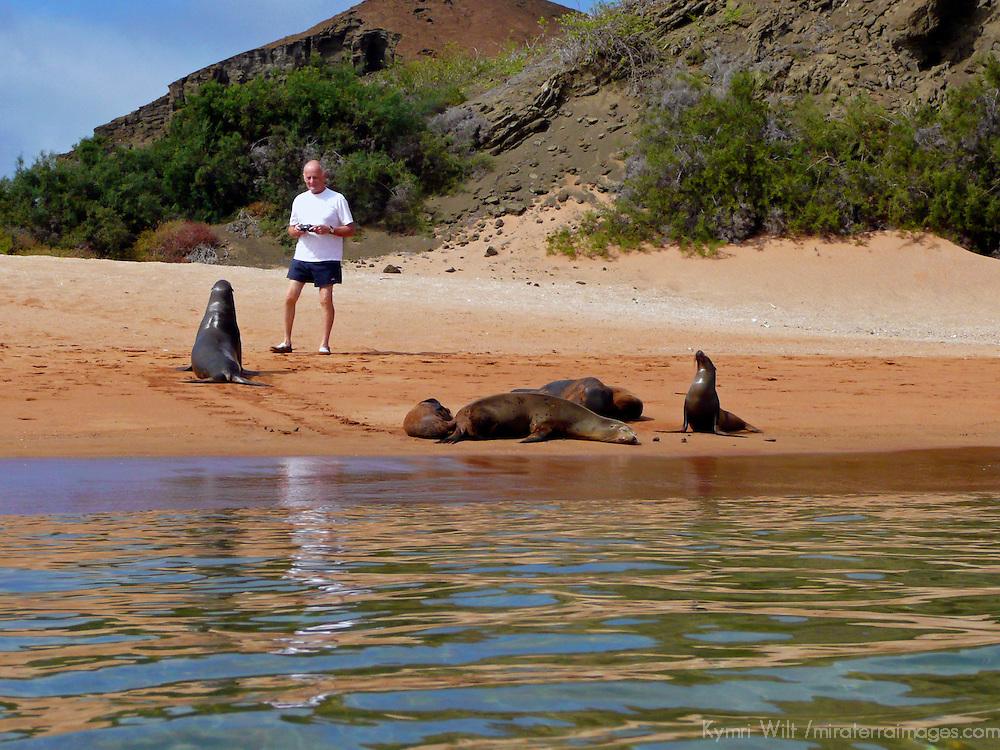 South America, Ecuador, Galapagos Islands, Bartholomew Island. A visitor has a close encounter with sea lions in the Galapagos Islands (Bartholomew).