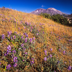 Broadleaf Lupine (Lupinus latifolius) and Mt. St. Helens Steam Eruption, Mt. St. Helens National Volcanic Monument, Washington, US