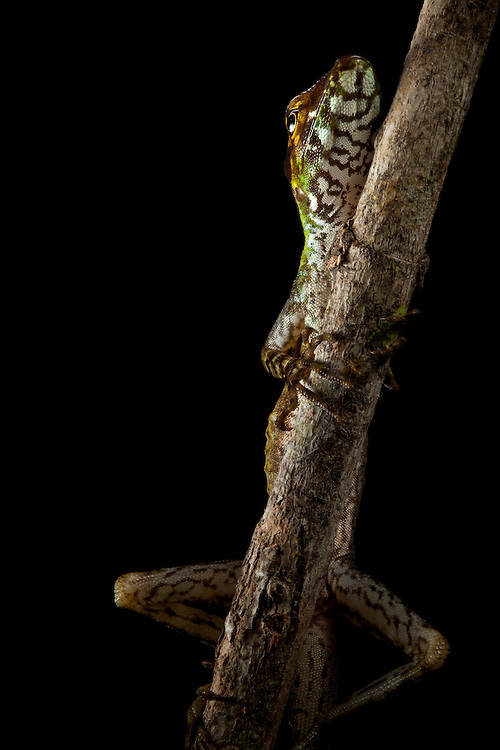 Anolis ventrimaculatus , Choco Department of Colombia