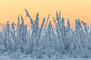 Hoarfrost covers black spruce trees as ground fog and dusk descend on Palmer Hay Flats in Southcentral Alaska. Winter. Afternoon.