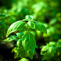 8/9/11 - Springfield, MO: Individual basil plants are grown for market in Urban Root's greenhouse.