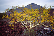 """One of the two types of """"elephant tree"""" (maybe Bursera microphylla) in Baja California, MEXICO. Published in Americas Magazine, """"Bizarre Blooms of Baja"""" article, April 2006 (official magazine of the Organization of American States, OAS)."""