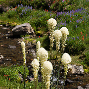 Bear grass blooms in Goat Rocks Wilderness Area, Washington, USA. Native Americans in Oregon, Washington state, and British Columbia have traditionally made beautiful baskets with the stems and roots. Bear Grass, or Xerophyllum tenax (in the corn lily family, Melanthiaceae) is also known as Indian Basket Grass, Soap Grass, or Squaw Grass. The flowers of bear grass grow on a stalk that can be 6 feet tall with many small creamy white flowers. Bear grass tends to flower in 5 to 7 year cycles. After the fruit sets, the plant dies. It reproduces by seed, and by sending out offshoots from its rhizomes. Bear grass is found in open forests and meadows at sub alpine and low alpine elevations in the western United States. Native Americans in Oregon, Washington state, and British Columbia have traditionally made beautiful baskets with the stems and roots of beargrass.