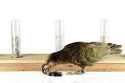 [captive] In this experiment, the Kea (Nestor notabilis) is presented three tubes filled with water, large or small stones. The Kea learns to drop stones into the tube filled with water until the water level has risen high enough for the Kea to pick up a nut. The picture was taken in cooperation with the University of Vienna (UniVie) and University of Veterinary Medicine Vienna (VetMed). Sequence 2/16. | In diesem Experiment werden dem Kea (Nestor notabilis) drei Röhrchen präsentiert, die entweder mit Wasser, kleinen oder großen Steinchen gefüllt sind. Der Kea wirft gezielt Steine in die Säule mit Wasser, bis die darin befindliche Nuss hoch genug schwimmt, um vom Kea erreicht zu werden. Das Bild wurde in Zusammenarbeit mit der Veterinärmedizinischen Universität Wien und der Universität Wien erstellt. Sequenz 2/16.