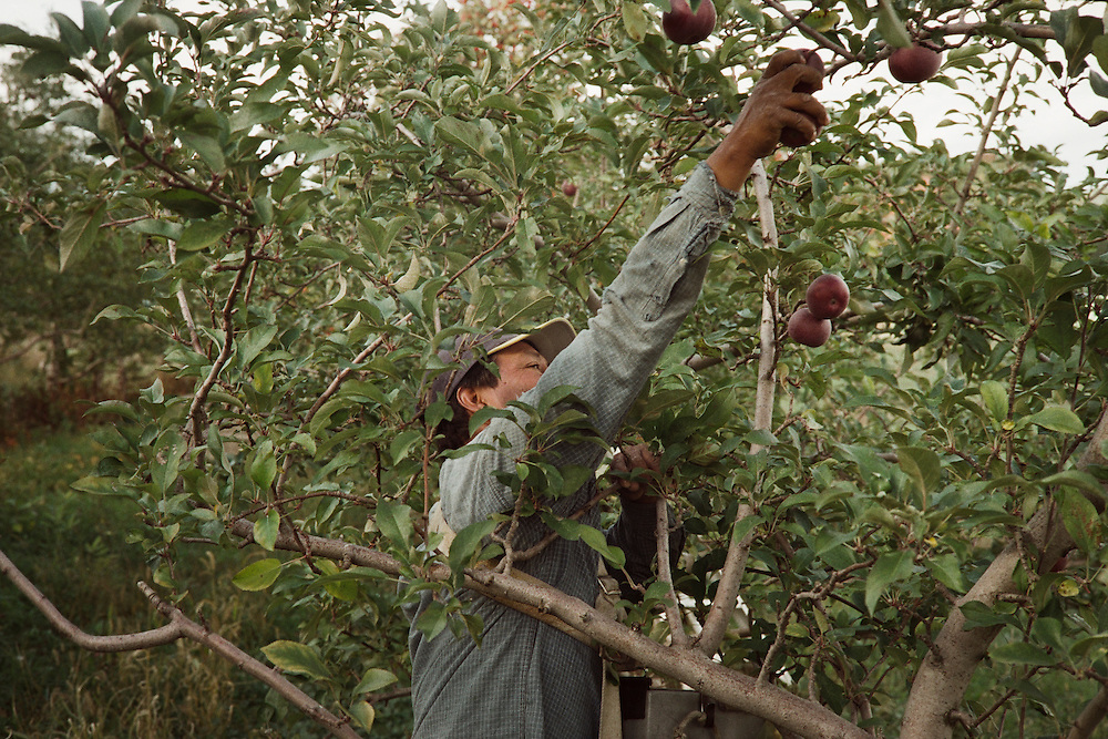 This man is stretching to the top of the tree to pick apples.