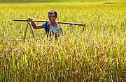 Portrait of a farmer in Myanmar as he stands in a field of golden wheat.