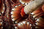 Phyllacanthus imperialis (pencil urchin)