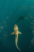 Bronze whaler shark (Carcarhinus brachyurus)<br /> Feeding on sardines (Sardinops sagax)<br /> Sardine run,<br /> Eastern Cape<br /> SOUTH AFRICA