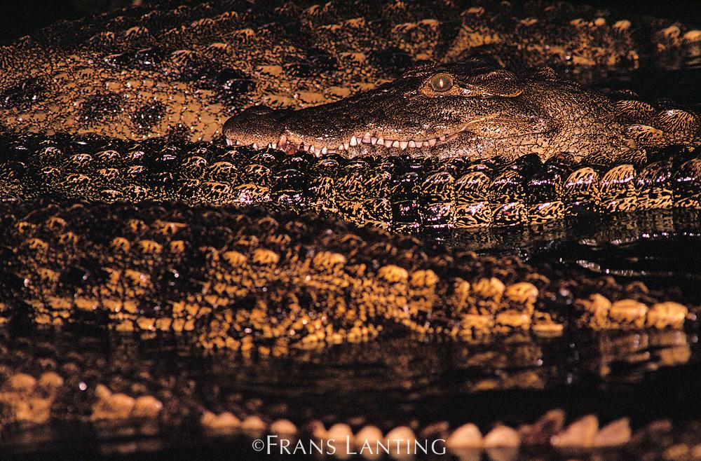 Nile crocodiles at night, Crocodylus niloticus, Okavango Delta, Botswana